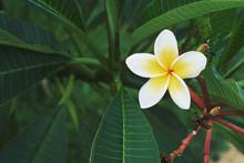 Plumeria. Yellow And White Frangipani Tropical Flower