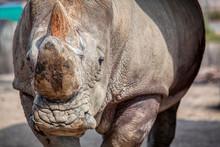 Sumatran Rhino Portrait ,image...