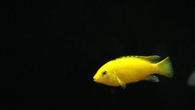 An Electric Yellow Cichlid Fish With Black Background