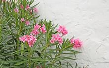 Pink Oleander Flowers Bloomed In Spring