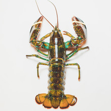 Live Boston Lobster Isolated O...