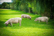 pigs in field. Healthy pig on meadow