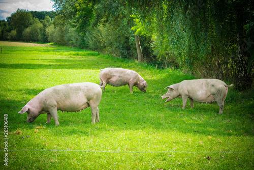 fototapeta na drzwi i meble pigs in field. Healthy pig on meadow