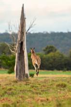 Kangaroo Outside Amongst Nature.