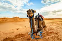 Dromedary Camel In Sahara Dese...