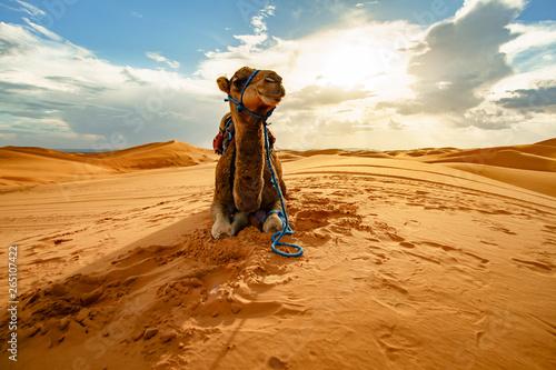 Deurstickers Kameel Dromedary camel in Sahara desert, Merzouga, Morocco