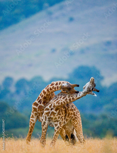 Two male giraffes fighting each other in the savannah. Kenya. Tanzania. East Africa. Wall mural