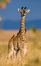 Portrait Of A Baby Giraffe. Ke...