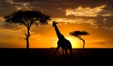 Fototapeta Sawanna - Giraffe at sunset in the savannah. Kenya. Tanzania. East Africa.