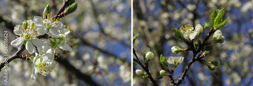 Wall Murals Blossoming cherry branch with white flowers on colorful background. Spring blossom apple tree. Bokeh