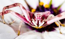 Colourful Crab Spider Thomisus...