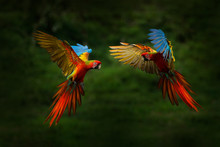 Red Hybrid Parrot In Forest. M...
