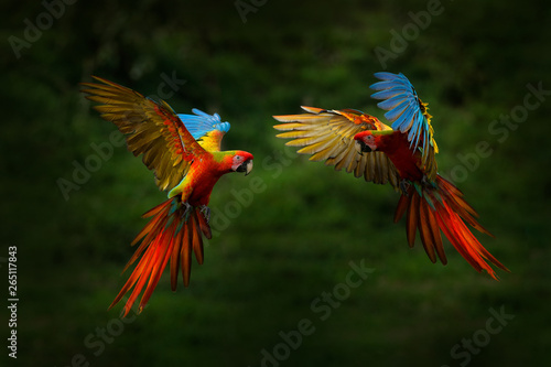 Fotobehang Papegaai Red hybrid parrot in forest. Macaw parrot flying in dark green vegetation. Rare form Ara macao x Ara ambigua, in tropical forest, Costa Rica. Wildlife scene from tropical nature. Bird in fly, jungle.