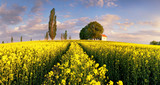 Landscape on Yellow rape fields at sunset with chapel - 265120497