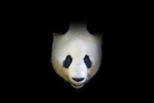 Panda Bear, Detail Portrait. Wildlife Scene From Chinese Nature. Giant Panda Hidden In Dark Tree In Forest. Cute Black And White Bear With Smile. Funny Image From Asian Nature. Art Black Nature.