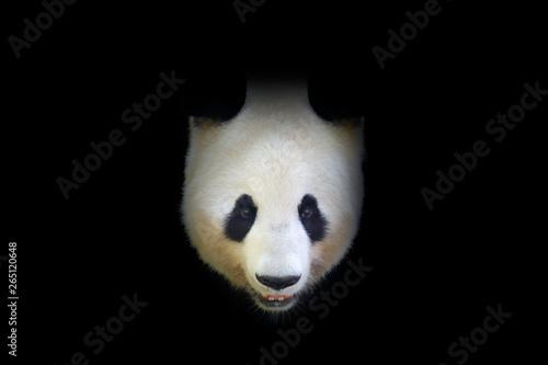 Fototapeta Panda bear, detail portrait