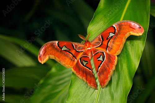 Photo Beautiful big butterfly, Giant Atlas Moth-aka, Attacus atlas in green forest habitat, India