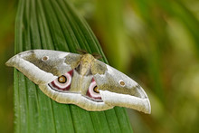 Gonimbrasia Zambesina, From Kenya In Africa. Beautiful Butterfly In The Nature Forest Habitat., Sitting On The Green Leave. Insects In Green Nature. Huge Colorful African Emperor Moth Butterfly,.