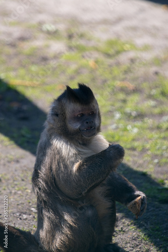 Photo portrait of capuchin monkey eating in the sun