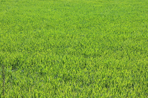 Cadres-photo bureau Herbe Natural green background with juicy spring green grass