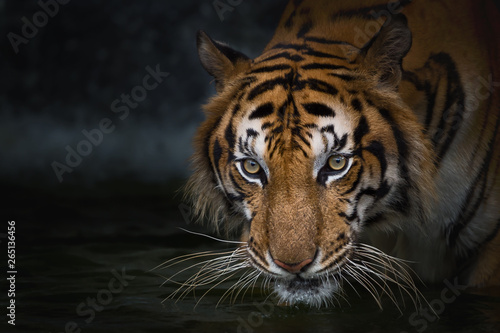 Photo sur Toile Tigre Portrait of tiger.