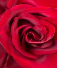 Deep Red Rose  Background. Mac...