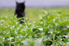 Katzenminze Mit Katze Im Hintergrund, Catnip With Cat In The Background