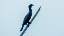 Double-crested (Phalacrocorax ...