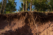 The Hill On Which The Trees Grow Is Washed Away By Water. The Roots Of The Trees Bare And Protrude From The Ground
