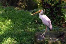 Yellow-billed Stork In Kuala L...