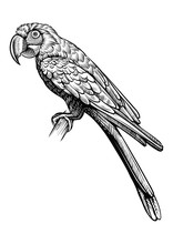 Parrot Hand Drawn Vector Illustration. Macaw Bird Sitting On The Branch, Line Black And White Sketch.