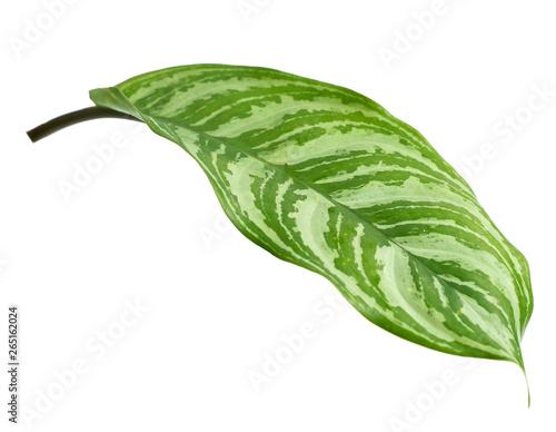 Fototapeta Close up exotic shape leaves Aglaonema on white background obraz na płótnie
