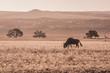 Sossusvlei Desert, Namibia, wildebeest and dunes during the sunset