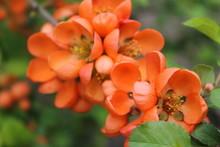 Japanese Quince Decorative,orange Bush, Orange Flowers