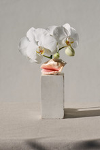 White Orchid Shell