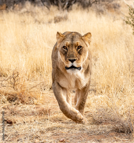 Lioness on the prowl Canvas-taulu