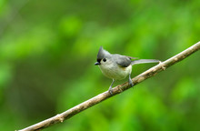 Tufted Titmouse (Parus Bicolor) On A Branch