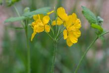 Chelidonium Majus,  Greater Celandine, Nipplewort, Yellow Flowers Macro