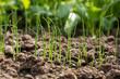 young onion plants, gardening, closeup