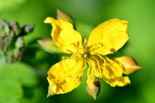 Chelidonium Majus,  Greater Celandine, Nipplewort, Swallowwort, Tetterwort