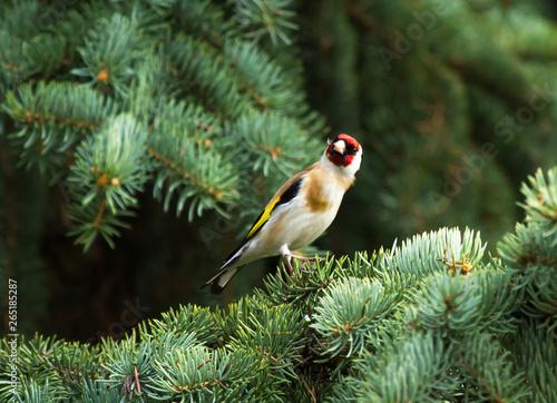 Fotografía European goldfinch (Carduelis carduelis) sitting on the branch of fir tree