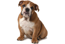 English Bulldog Sitting On A White Background And Looking Forward.