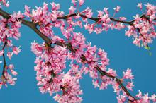 Redbud Tree Blossoms