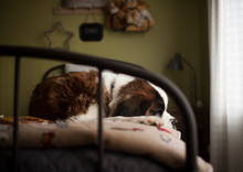 Large Saint Bernard Dog Lays O...