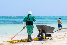 Mexican Worker Picking Seaweed...