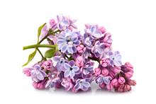 Flower Purple Lilac, Syringa Vulgaris Isolated.