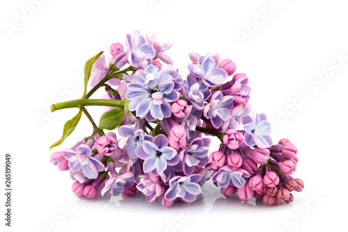 Flower purple lilac, Syringa vulgaris isolated.