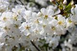 Fototapeta Kwiaty - Białe kwiaty wiśni