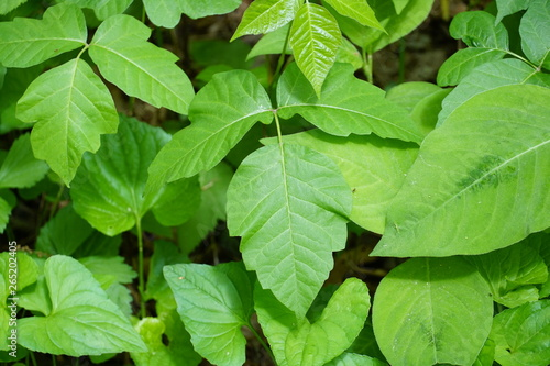 Closeup of wild poison ivy plant (devil's mittens) in a forest Wallpaper Mural