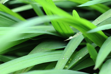 Agapanthus Leaves Close-up In ...